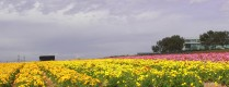Flower fields10 (1 of 1)