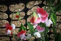 Flower fields30 (1 of 1)