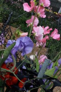 Flower fields31 (1 of 1)