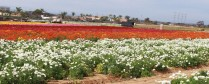 Flower fields9 (1 of 1)